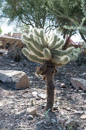 Jumping Cholla Cactus