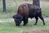 Grazing Bull Bison
