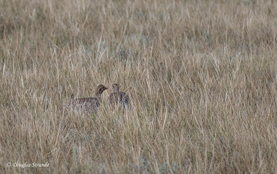 Prairie Chickens (Pinnated Grouse)