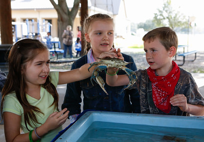 Second graders, Luma Budnik, Maya Willis & Owen Strain learn about the blue crab from the Texas Parks & Wildlife aquatic touch tank display. Holy Rosary Go Texan Day, January 30, 2015; Holy Rosary Catholic School, Rosenberg, Texas