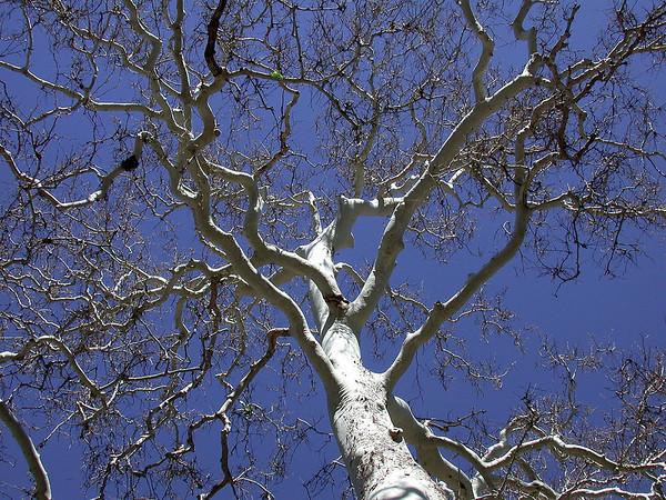 Old Man Tree<br /> Paradox, Colorado
