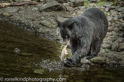 The bears will eat continually, to add weight to survive the winter.