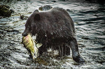 A prize salmon