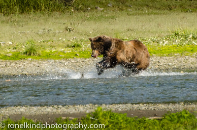 Grizzly bear chases salmon.