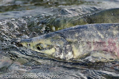The Salmon were returning to their birthplace to spawn.