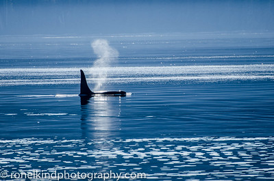 Our first Killer whale blowing in the distance.