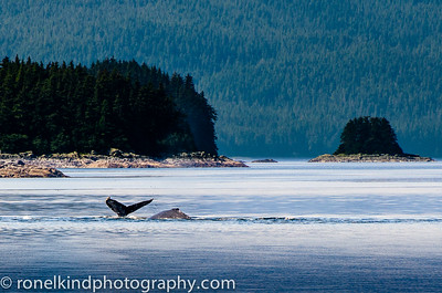 Killer Whales  on the hunt