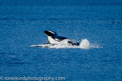 Killer whale breaching.
