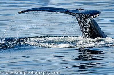 Killer Whale diving.