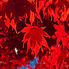 Red Leaves and Shadows