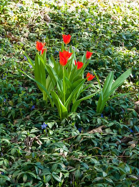 Mini Red Tulips