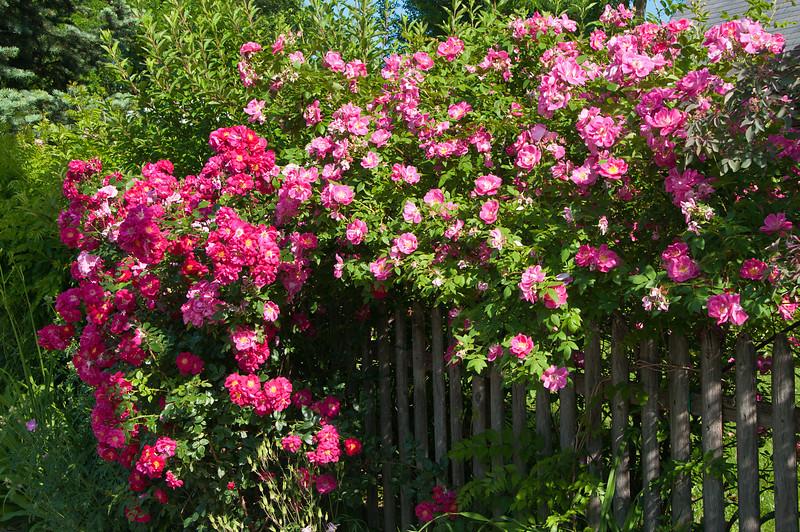 Cascading Roses_