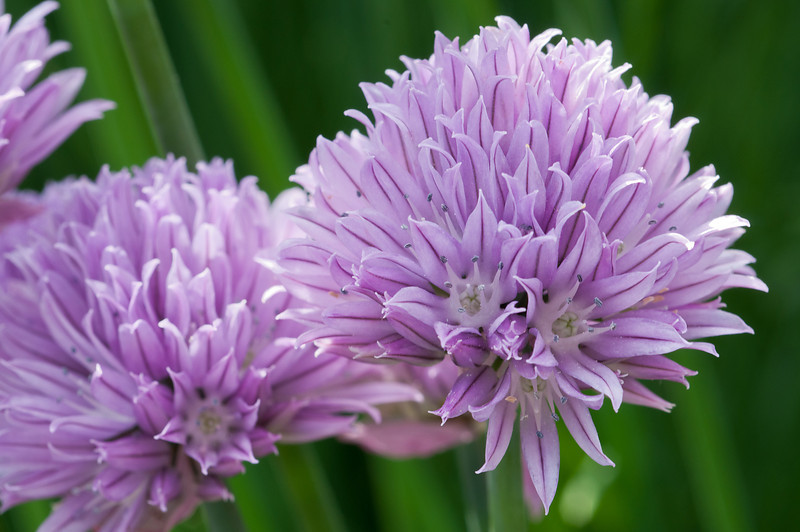 Bloming Chives 1