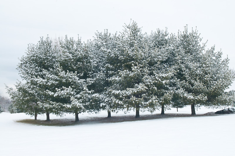 New Snow on the Pines
