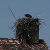 hawks have built a nest in the chimney of this old house.