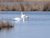 """This series of images of this pair of swan really surprised me at how well the litte Canon G7 does at the full end of its telescopic range.  Also this was handheld.  I think I was into what they call """"Digital Zoom"""" which is really just cropping the image."""