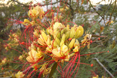 "Trans-Pecos Texas 04/2013 ""Pride of Barbados"""