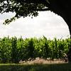 Tree protecting the corn