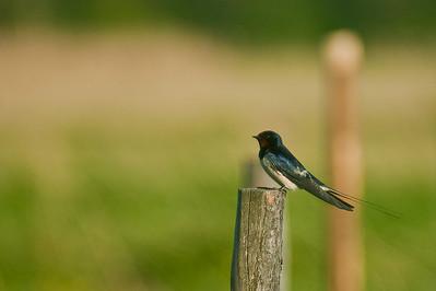 Haarapääsky - Barn Swallow - Hirundo rustica