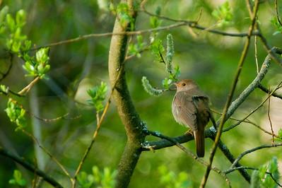 Satakieli - Thrush Nightingale - Luscinia luscinia