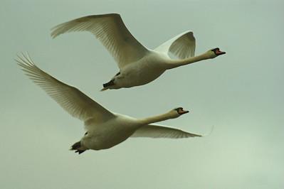Kyhmyjoutsen - Mute Swan - Cygnus olor