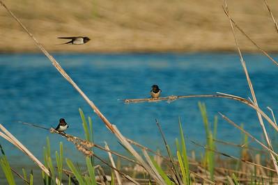 Haarapääskyjä - The Barn Swallows - Hirundo rustica