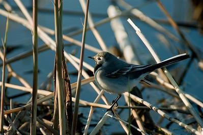 Västäräkki - White Wagtail - Motacilla alba