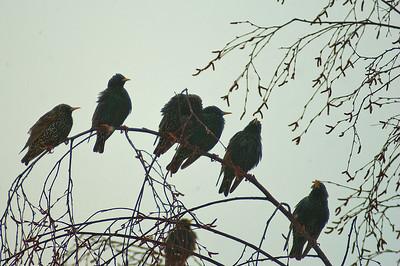 Kottarainen - Common Starling - Sturnus vulgaris