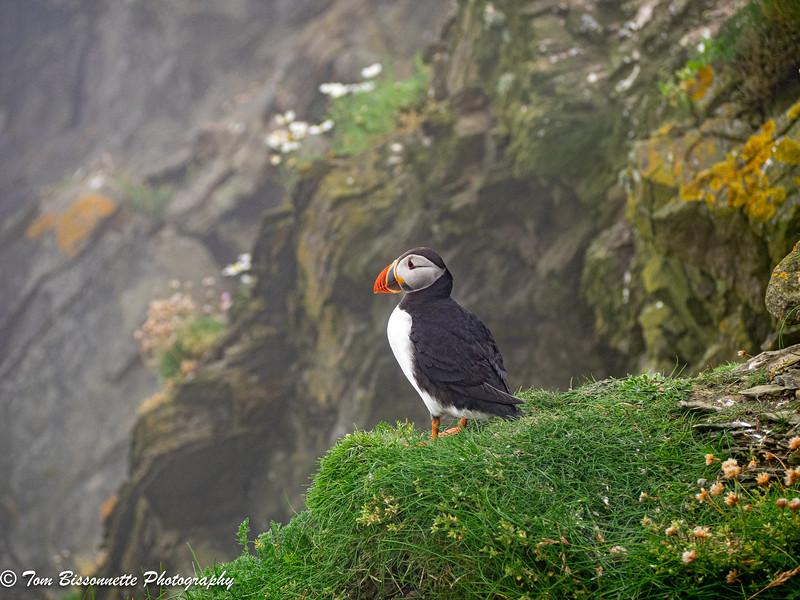 Sumburgh Cliffs Puffin