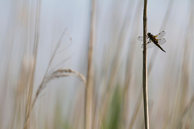 Firplettet libel, Four-spotted chaser (Libellula quadrimacula), Lille Vildmose, Denmark