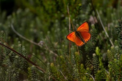 Dukatsommerfugl, Scarce Copper, male (Lycaena virgaureae), Faddersbøl