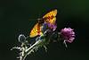 Engperlemorsommerfugl, Lesser Marbled Fritillary (Brentis ino), Almindingen, Bornholm, DK