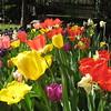 Tulips, Daffodils & Hyacinth