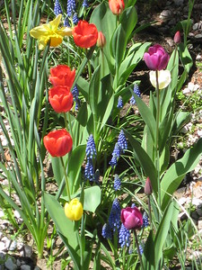 Tulips & Blue Grape Hyacinth