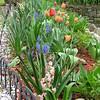 Tulips, Hyacinth & Blue Grape Hyacinth