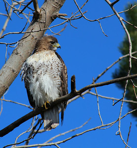 Immature Red Shoulder Hawk