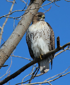 Pic of a hawk ( not sure of the species)  taken at Greenfield village Dearborn, Mi.