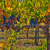 Livermore Vines, October4623