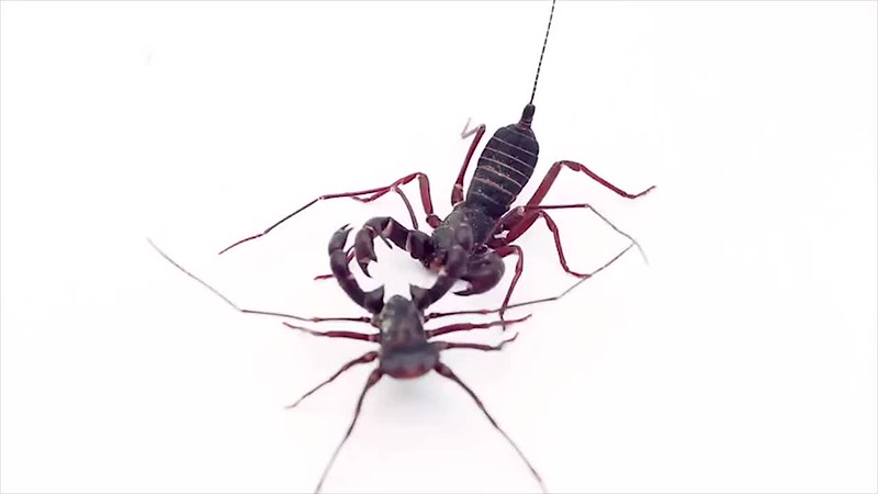 Two Drunk #Vinegaroon Whip Scorpions In A Bar Fight