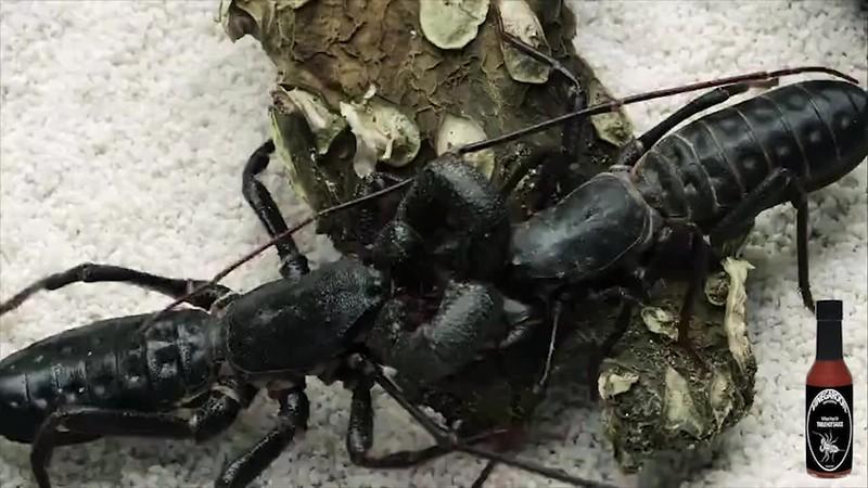 #Vinegaroon #Ole | Bad Ass Bug | Bad Ass Hot Sauce