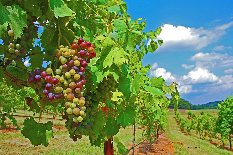 Shades of Grape