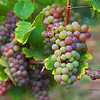 Vine Spice