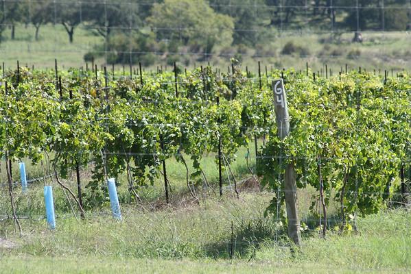 Vineyard of Florence