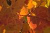 Vineyard Leaves 01_DSC1338 (2006-10-22)