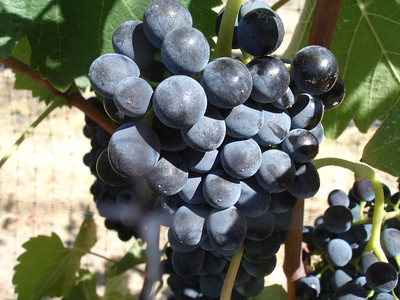 Plump, juicy Grenache at Olsen Vineyard in Yakima Valley