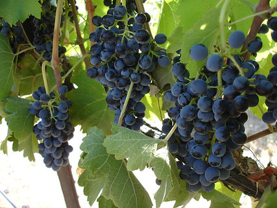 Loose clusters of Syrah at Boushey Vineyard in Yakima Valley