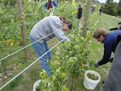 Harvesting the estate grown Gruner Vetliner
