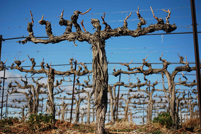 Beautiful old Cabernet Sauvignon vines at Klipsun Vineyard on Red Mountain