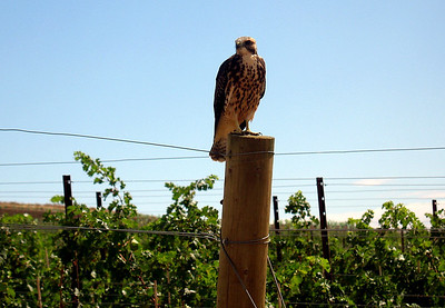A red hawk watched over the first planting of Syrah in the state at Red Willow Vineyard