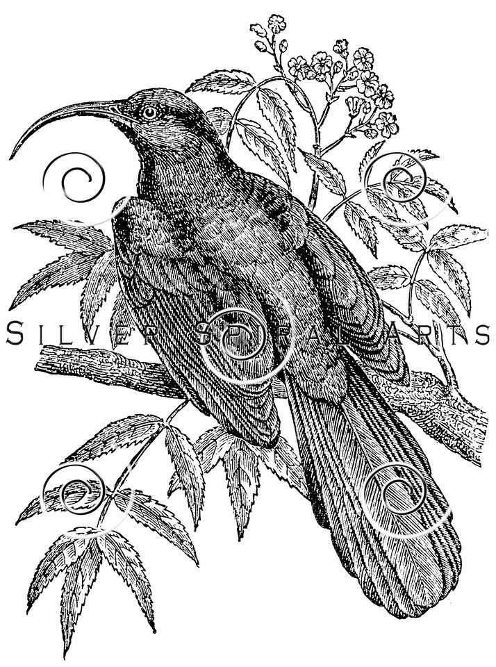 Vintage Bee Eater Birds Illustration - 1800s Bird Images
